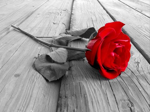 52. Gönülçelen -Inima furata - Heart Stealer - General Discussions - Comentarii - Pagina 2 Trandafir2